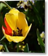 Yellow Tulip With Red Stripe Metal Print