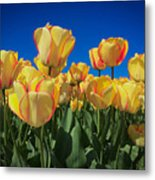 Yellow Tulips With An Orange Flare Metal Print