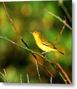 Yellow Warbler Galapagos Islands Metal Print