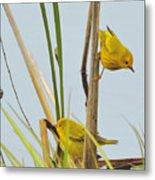 Yellow Warblers Metal Print