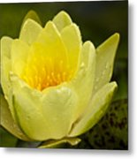 Yellow Water Lilly Metal Print