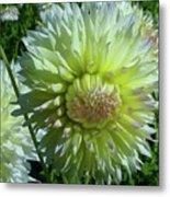 Yellow With White Dahlia Flower Metal Print
