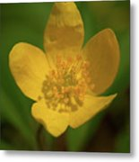 Yellow Wood Anemone 2 Metal Print