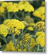 Yellow Yarrow Metal Print