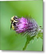 Yellowhead Bumblebee Metal Print