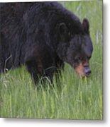 Yellowstone Black Bear Grazing Metal Print