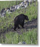 Yellowstone Black Bear Metal Print