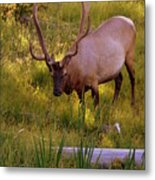Yellowstone Bull Metal Print