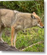 Yellowstone Coyote Scout Metal Print