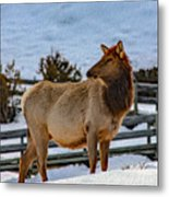 Yellowstone Elk Metal Print