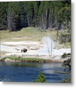 Yellowstone Park Bison In August Metal Print