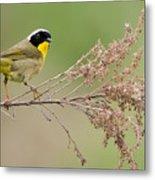 Yellowthroat Warbler Metal Print