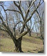 Yellowwood Tree In Winter Metal Print