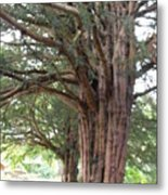 Yew Tree Entrance Metal Print