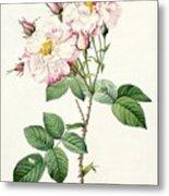 York And Lancaster Rose Metal Print