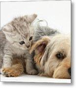 Yorkshire Terrier And Tabby Kitten Metal Print