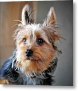 Yorkshire Terrier Dog Pose #3 Metal Print