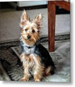 Yorkshire Terrier Dog Pose #6 Metal Print