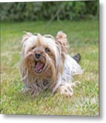 Yorkshire Terrier Is Smiling At The Camera Metal Print