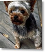 Yorkshire Terrier Puppy Metal Print