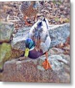 You Go First - Male And Female Mallard Ducks Metal Print
