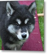 Young Alusky Puppy Standing On A Teeter Totter Metal Print