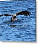 Young Bald Eagle I Metal Print