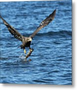 Young Bald Eagle II Metal Print