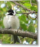 Young Black-capped Chickadee Metal Print
