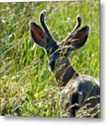 Young Black-tailed Deer With New Antlers Metal Print