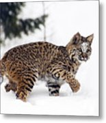 Young Bobcat Playing In Snow Metal Print by Melody Watson