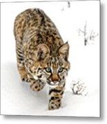 Young Bobcat Stalking Metal Print