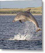 Young Bottlenose Dolphin - Scotland #13 Metal Print