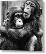 Young Chimpanzees Metal Print
