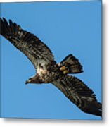 Young Eagle Color Metal Print