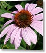 Young Echinacea Bloom Metal Print