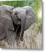 Young Elephant In The Light, Africa Wildlife Metal Print