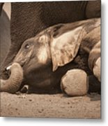 Young Elephant Lying Down Metal Print