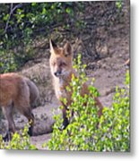 Young Foxes At The Den Metal Print