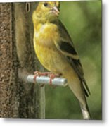 Young Goldfinch Metal Print