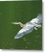 Young Great Blue Heron Taking Flight Metal Print