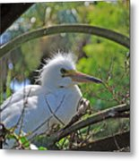 Young Great Egret Metal Print