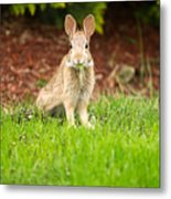 Young Healthy Wild Rabbit Eating Fresh Grass From Yard  Metal Print