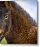 Young Icelandic Horse Metal Print
