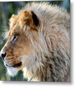 Young King Close Up Metal Print by Nick Gustafson