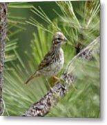 Young Lark Sparrow 2 Metal Print