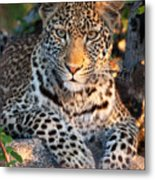Young Leopard Metal Print