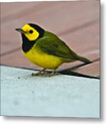 Young Male Hooded Warbler 5 Metal Print