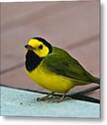 Young Male Hooded Warbler 6 Metal Print