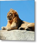 Young Male Lion Reclining On A Rock Metal Print